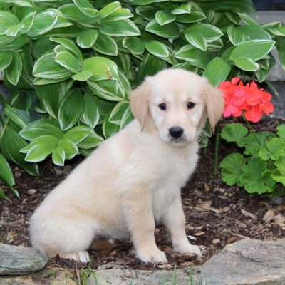 Sophie - Golden Retriever puppy for sale at Holtwood, Pennsylvania