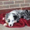 Soto - Mini Australian Shepherd doggie for sale near Strasburg, Pennsylvania