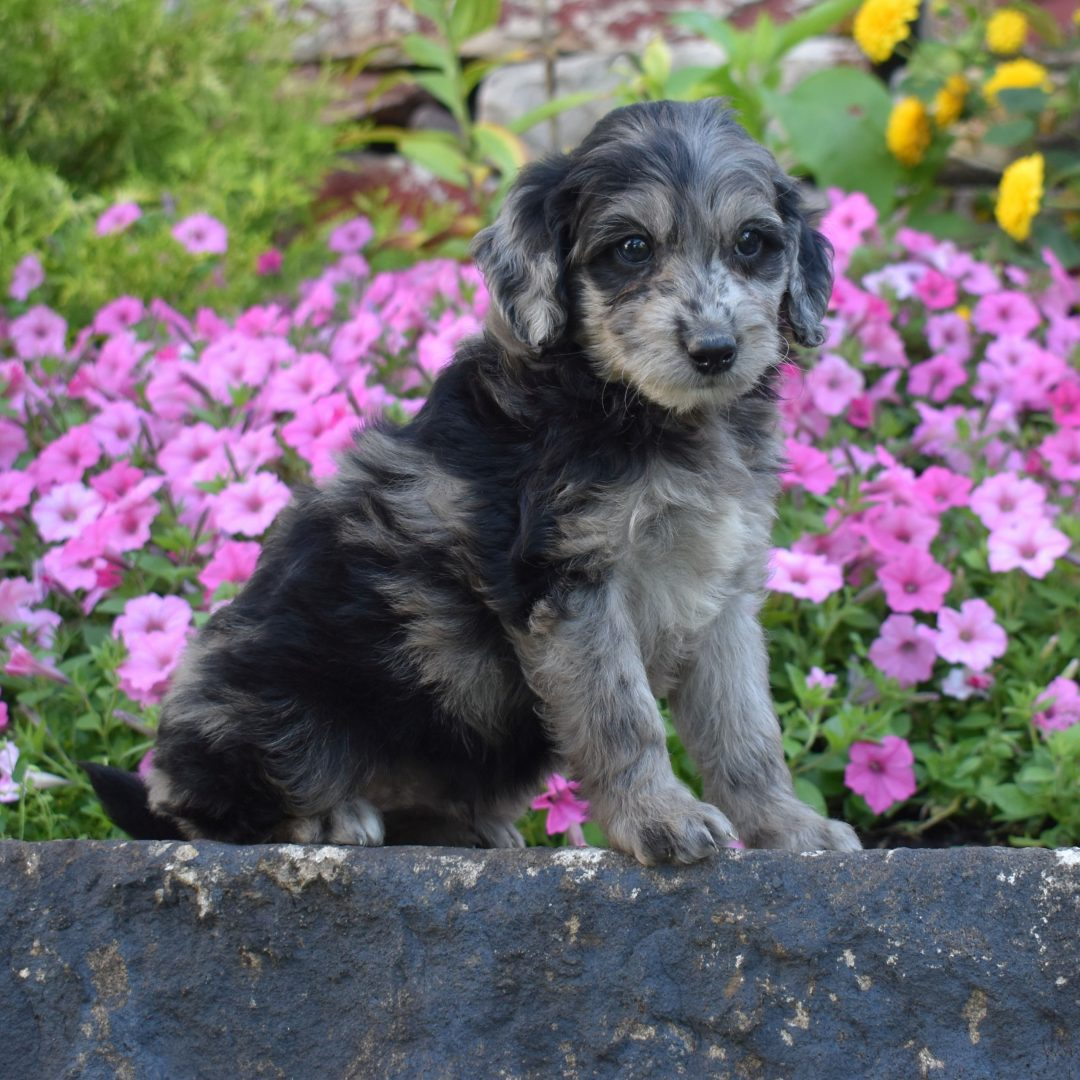 Sparky - f1b Mini Goldendoodle puppie for sale near Millersburg, Pennsylvania
