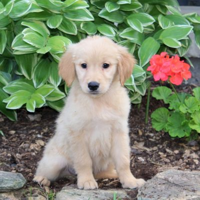 Spike - pup Golden Retriever for sale in Holtwood, Pennsylvania