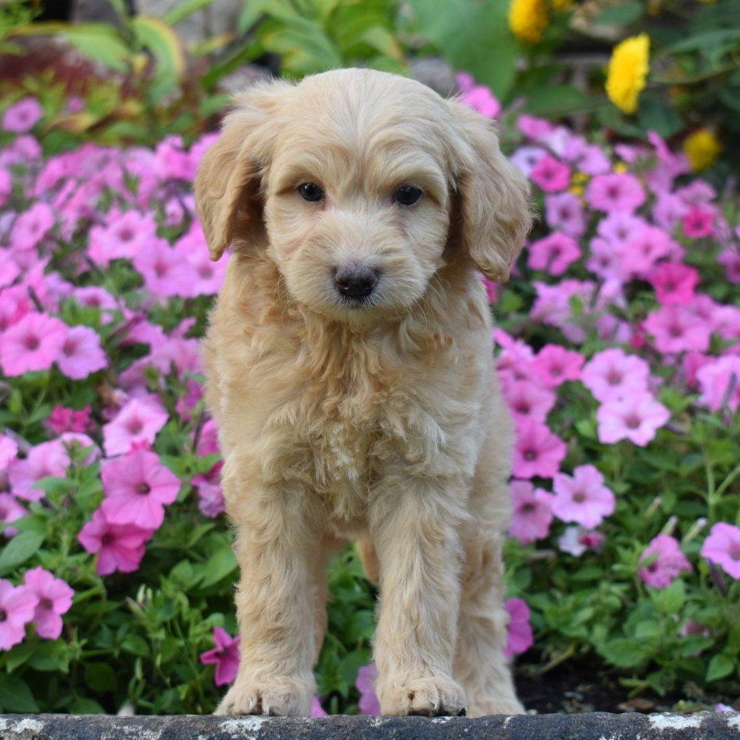 Sunny- doggie f1b Mini Goldendoodle for sale in Millersburg, Pennsylvania