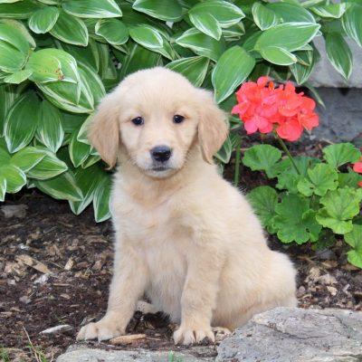 Sunshine - female Golden Retriever pup for sale near Holtwood, Pennsylvania