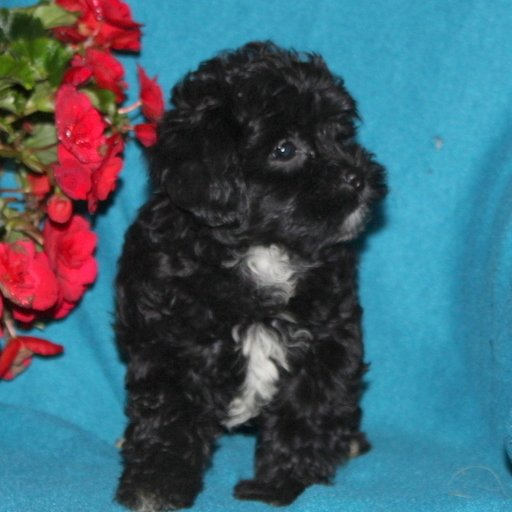 Sweetie - f1 Shihpoo puppy for sale in Quarryville, Pennsylvania