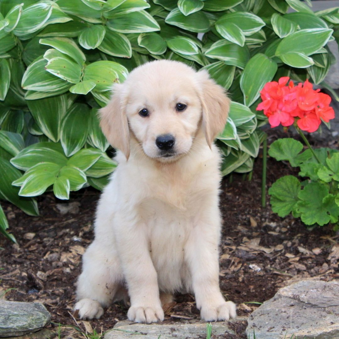 Sweetie - female Golden Retriever pup for sale near Holtwood, Pennsylvania