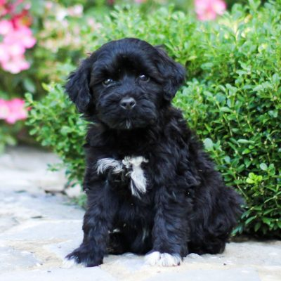 Tanner - AKC Portuguese Water Dog doggie for sale at Lancaster, Pennsylvania