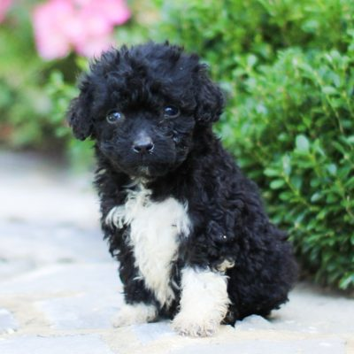 Titan - AKC Portuguese Water Dog puppy for sale near Lancaster, Pennsylvania