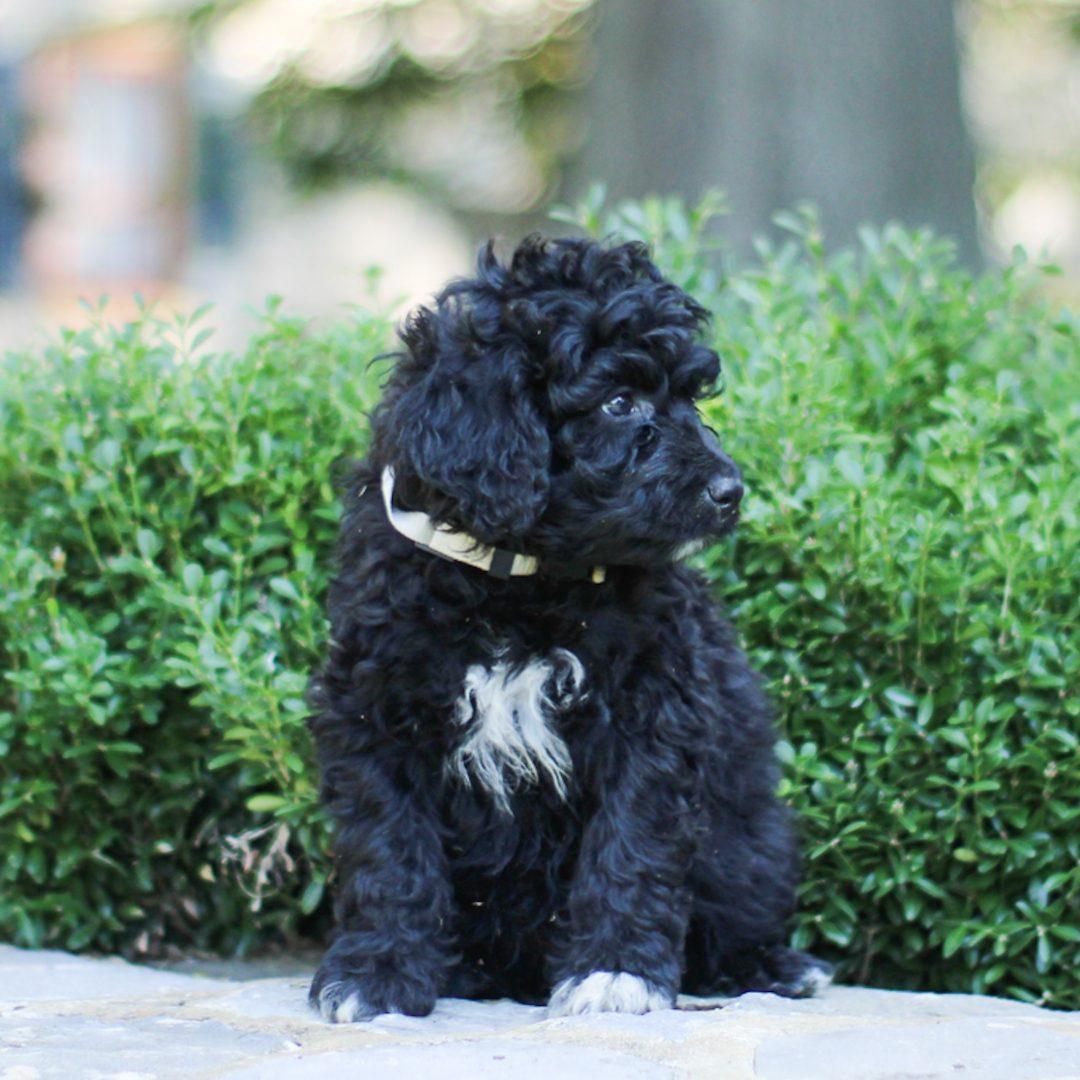 Winston - pupper AKC Portuguese Water Dog for sale near Lancaster, Pennsylvania