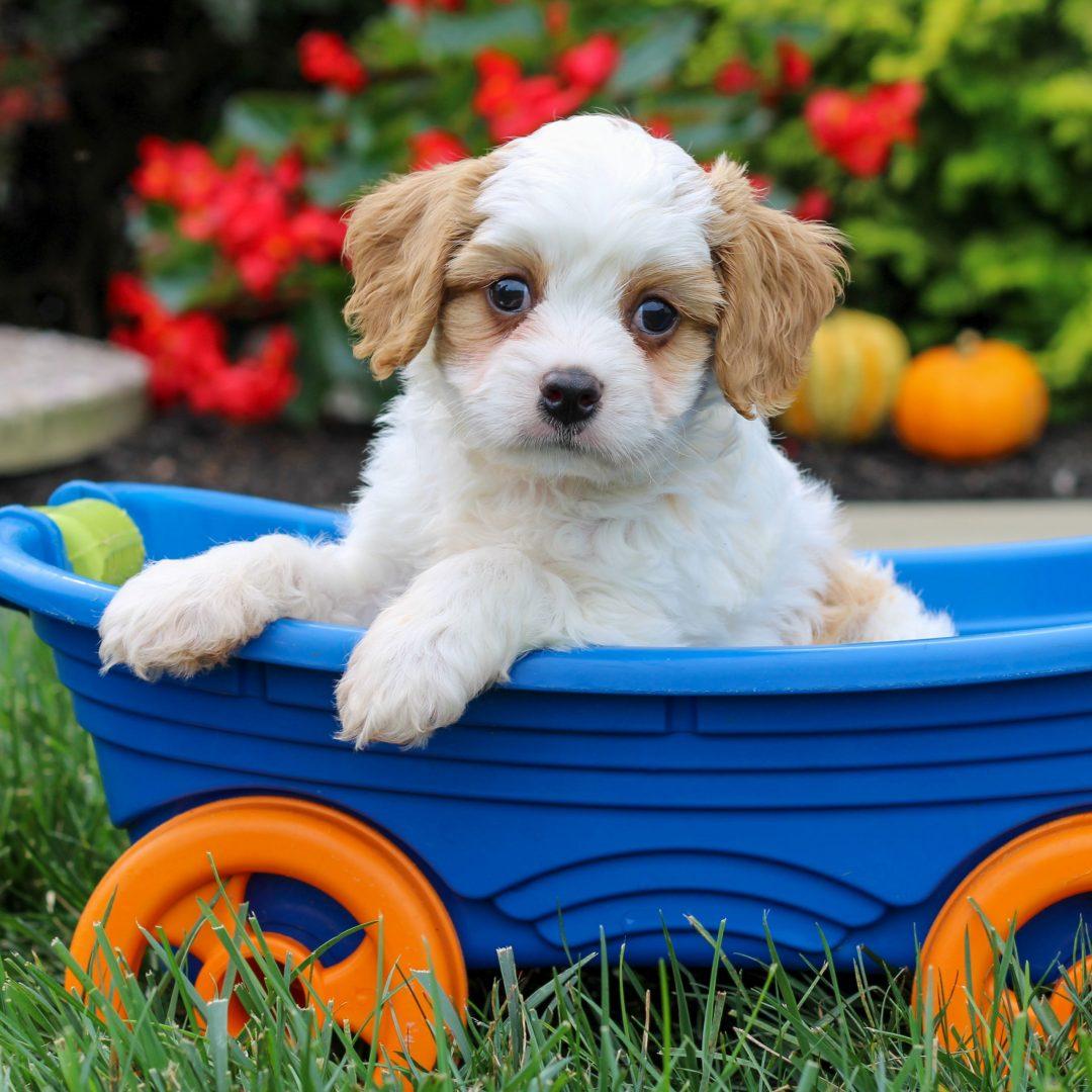 Yoyo - f1 Cavachon puppie for sale near Gordonville, Pennsylvania