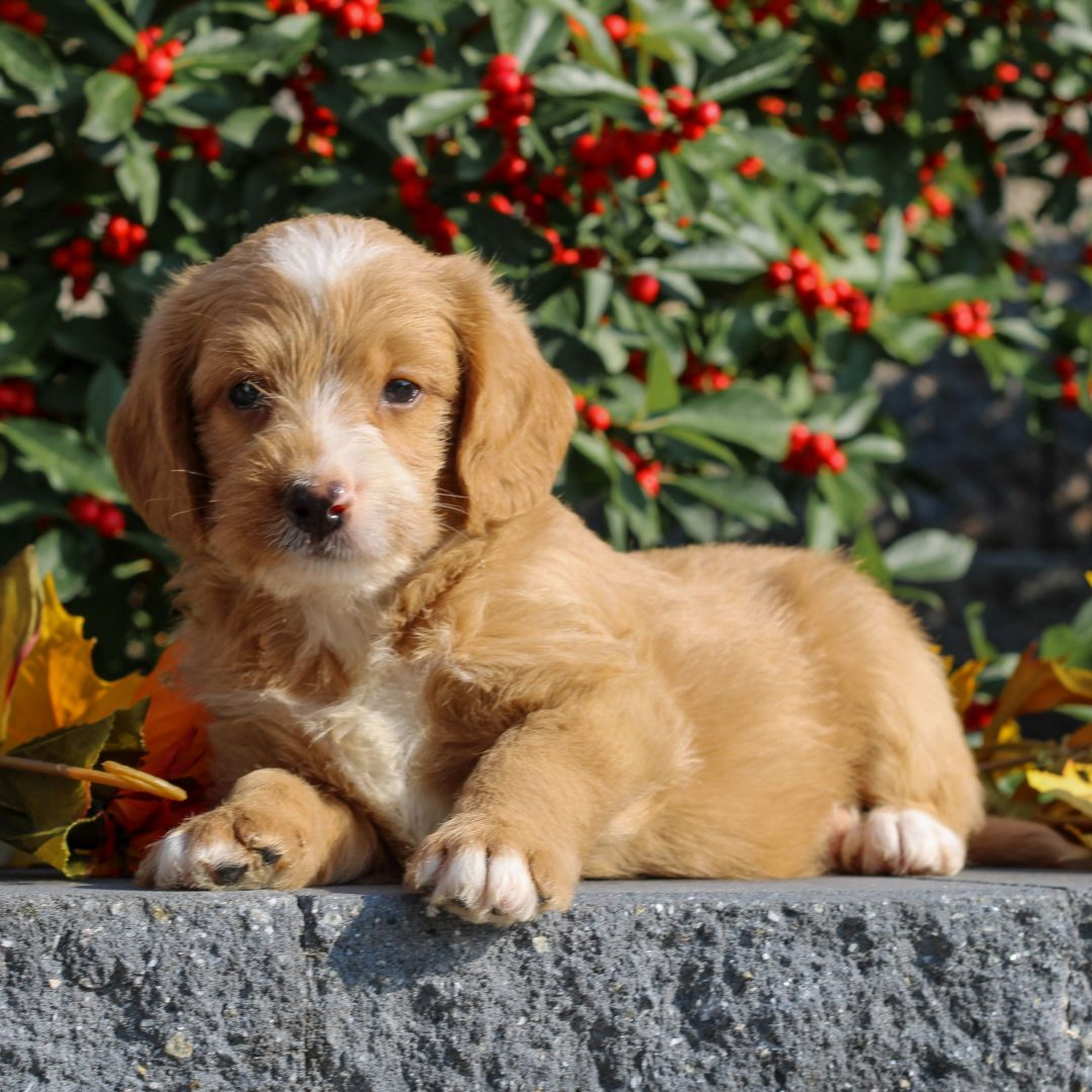 Zachary - Mini Goldendoodle doggie for sale at Honey Brook, Pennsylvania