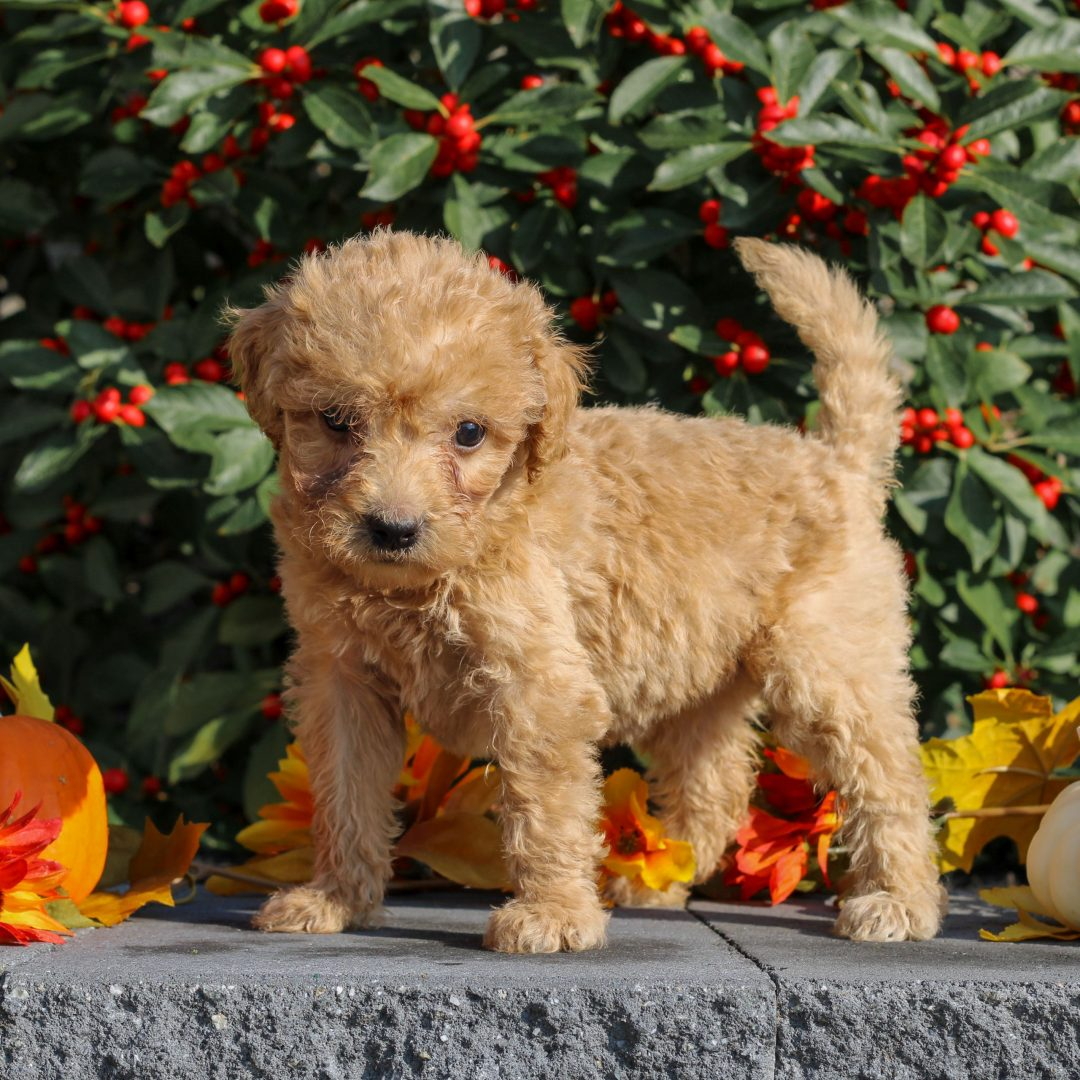 Zayla - Mini Goldendoodle puppy for sale in Honey Brook, Pennsylvania