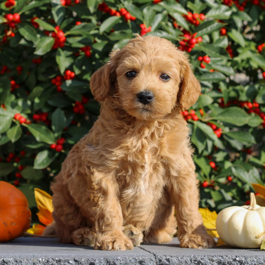 Zayne - Mini Goldendoodle puppy for sale at Honey Brook, Pennsylvania