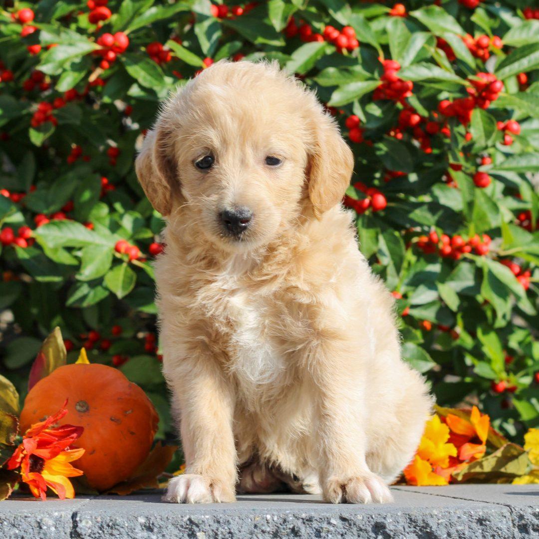 Zinnia - Mini Goldendoodle pupper for sale near Honey Brook, Pennsylvania