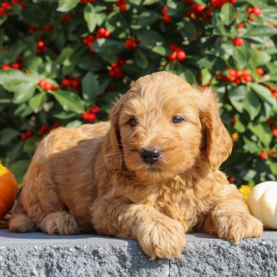 Zion - Mini Goldendoodle doggie for sale in Honey Brook, Pennsylvania