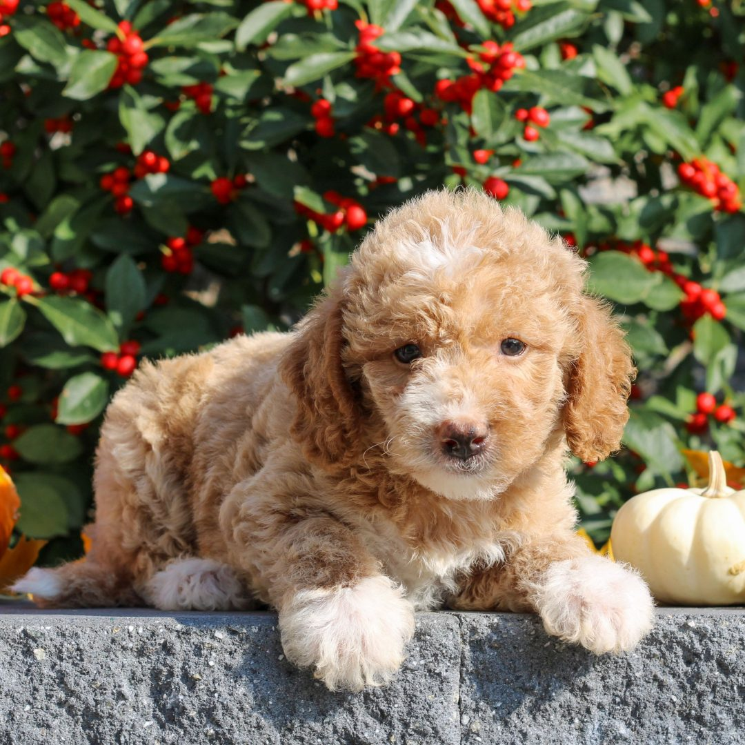 Zola - female Mini Goldendoodle puppie for sale in Honey Brook, Pennsylvania