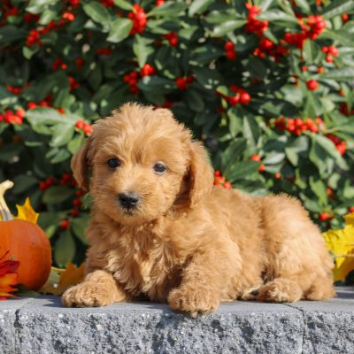 Zoro - Mini Goldendoodle pup for sale near Honey Brook, Pennsylvania