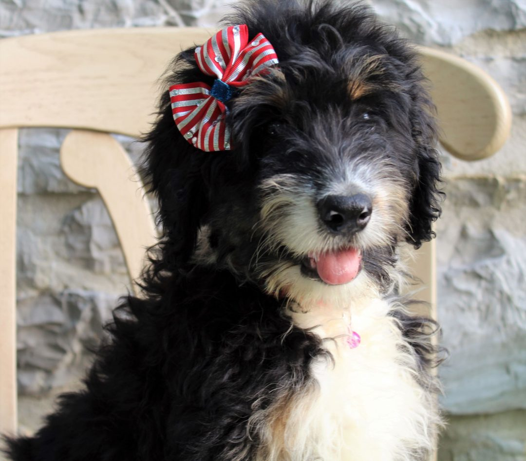 Firefly - Bernedoodle pup for sale at Mercersburg, Pennsylvania