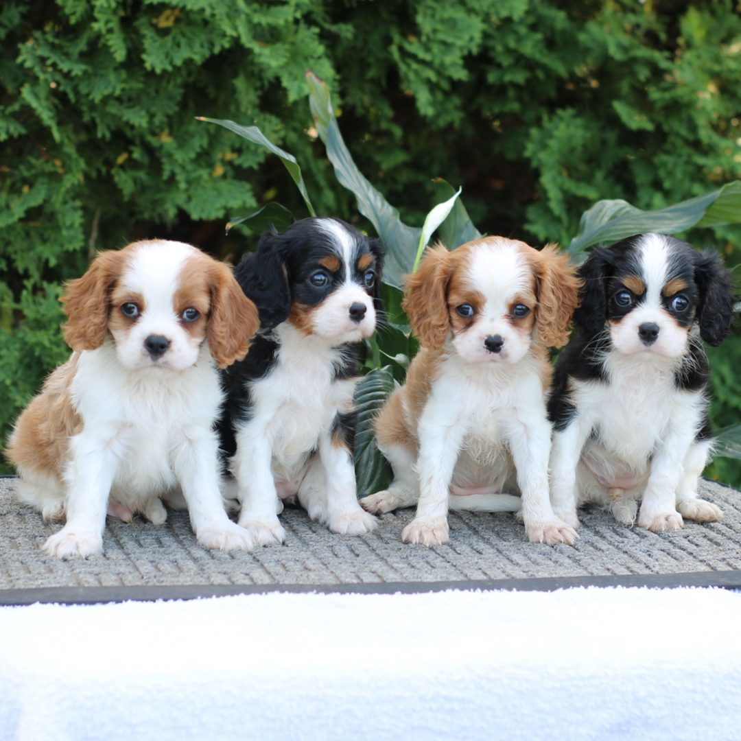 Melody - ACA Cavalier King Charles puppy for sale in Narvon, Pennsylvania