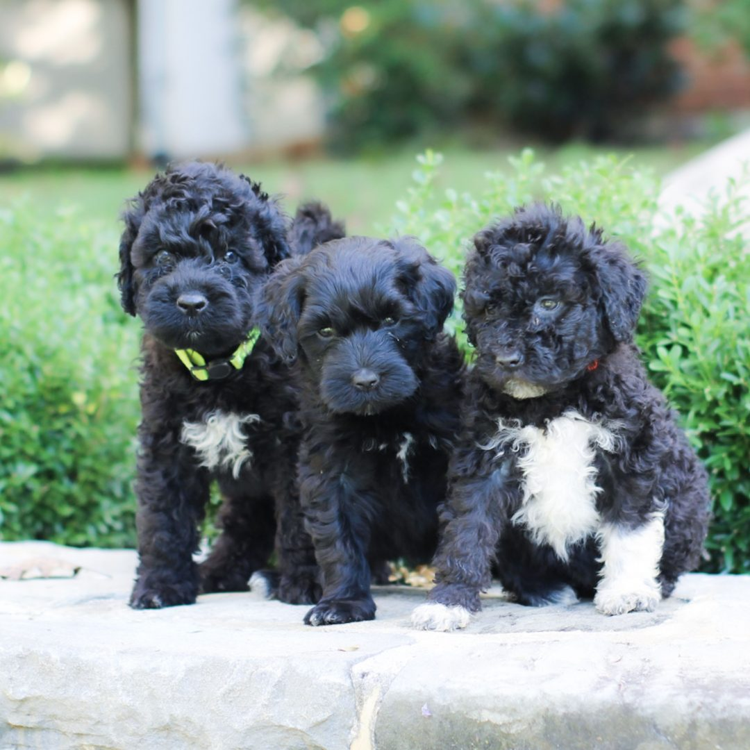 Olive - AKC Portuguese Water Dog pup for sale in Lancaster, Pennsylvania