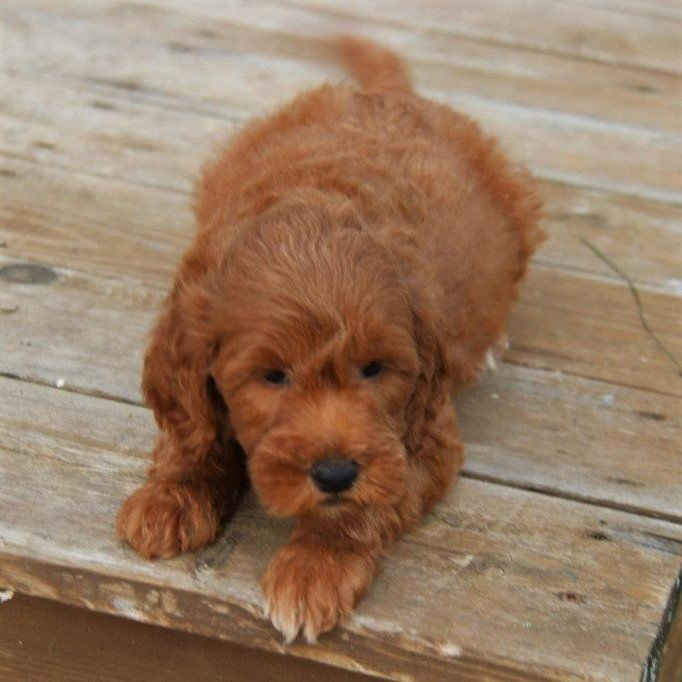 Jayson - f1bb Mini Goldendoodle male puppie for sale near Stanley, Wisconsin