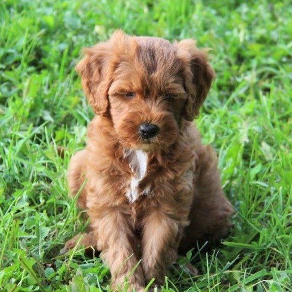 Jenny - f1bb Mini Goldendoodle female pupper for sale at Stanley, Wisconsin