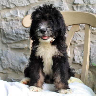 Shade- Bernedoodle pup for sale near Mercersburg, Pennsylvania