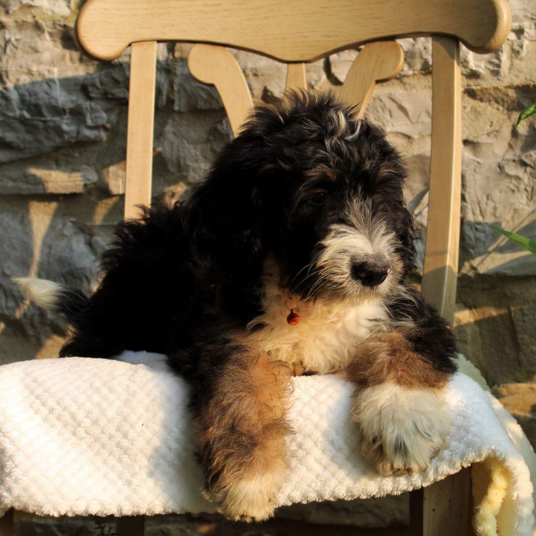 Sprinkler - puppie Bernedoodle for sale in Mercersburg, Pennsylvania