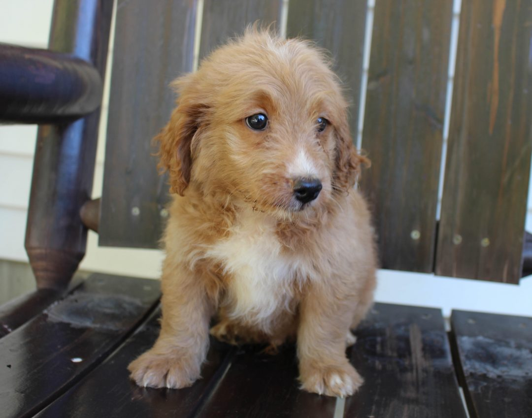 Dak * F1 * - male Goldendoodle pupper for sale at New Haven, Indiana