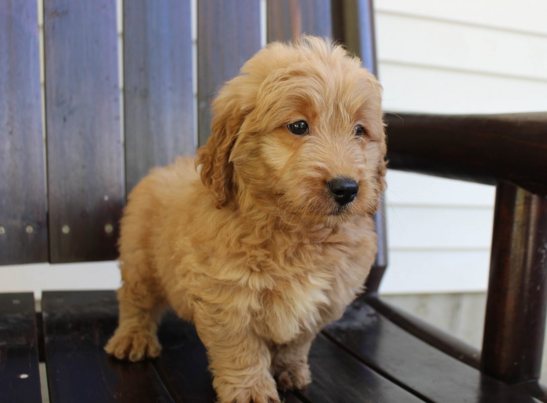 Bobby * F1 * - Goldendoodle puppie for sale near New Haven, Indiana