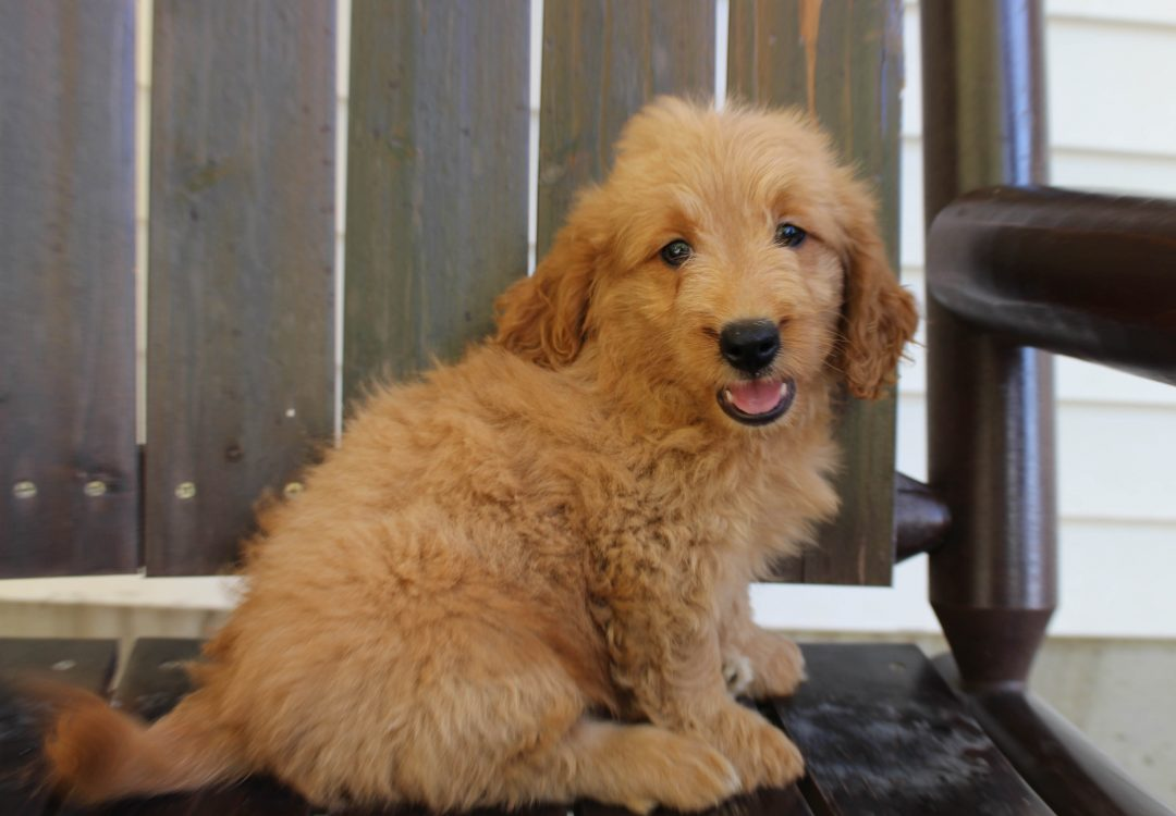 Timmy * F1 * - Goldendoodle male pupper for sale in New Haven, Indiana