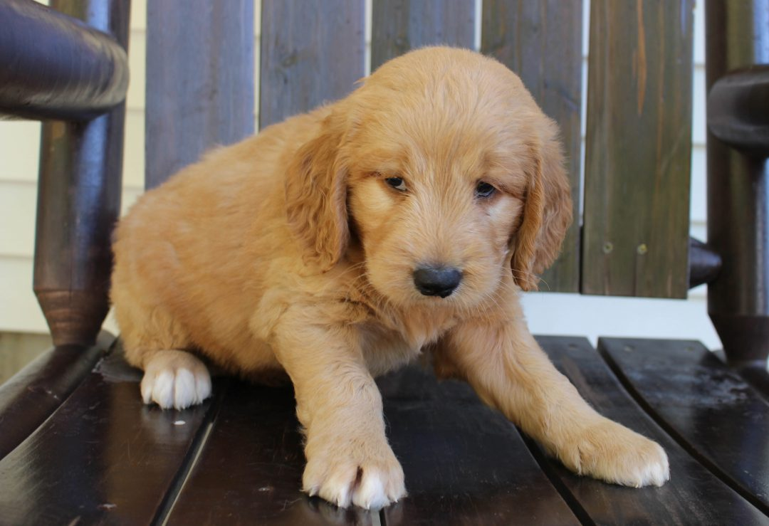 Jack * F1 * - doggie Goldendoodle male for sale near New Haven, Indiana