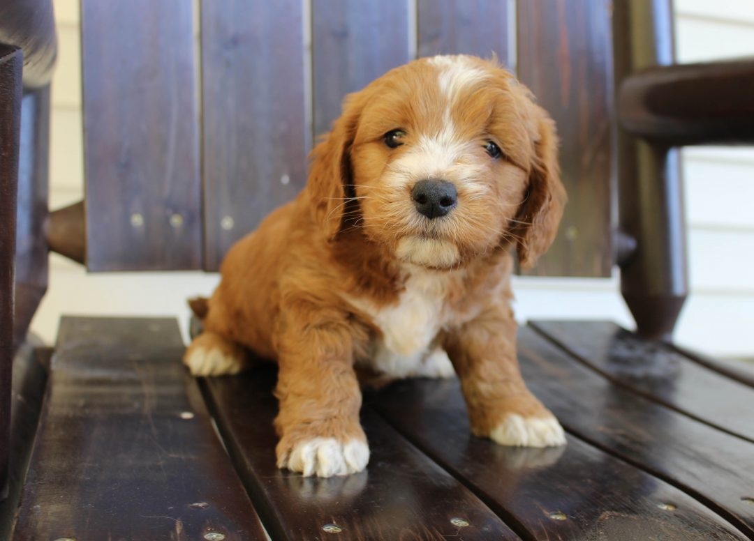 Blake * F1 * - Goldendoodle male pup for sale at New Haven, Indiana