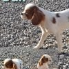 ACA Cavalier King Charles Spaniel male puppies for sale at New Haven, Indiana