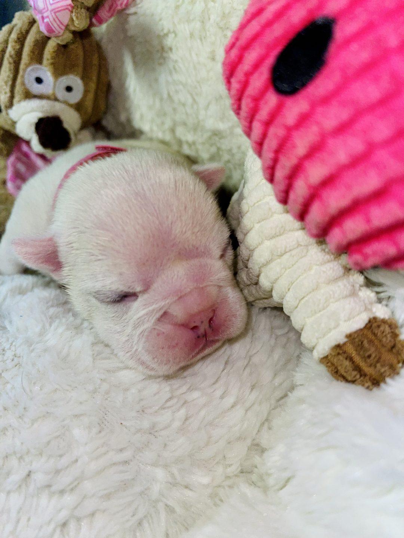 Snow - female AKC English Bulldog Puppy for sale in Elkin, North Carolina
