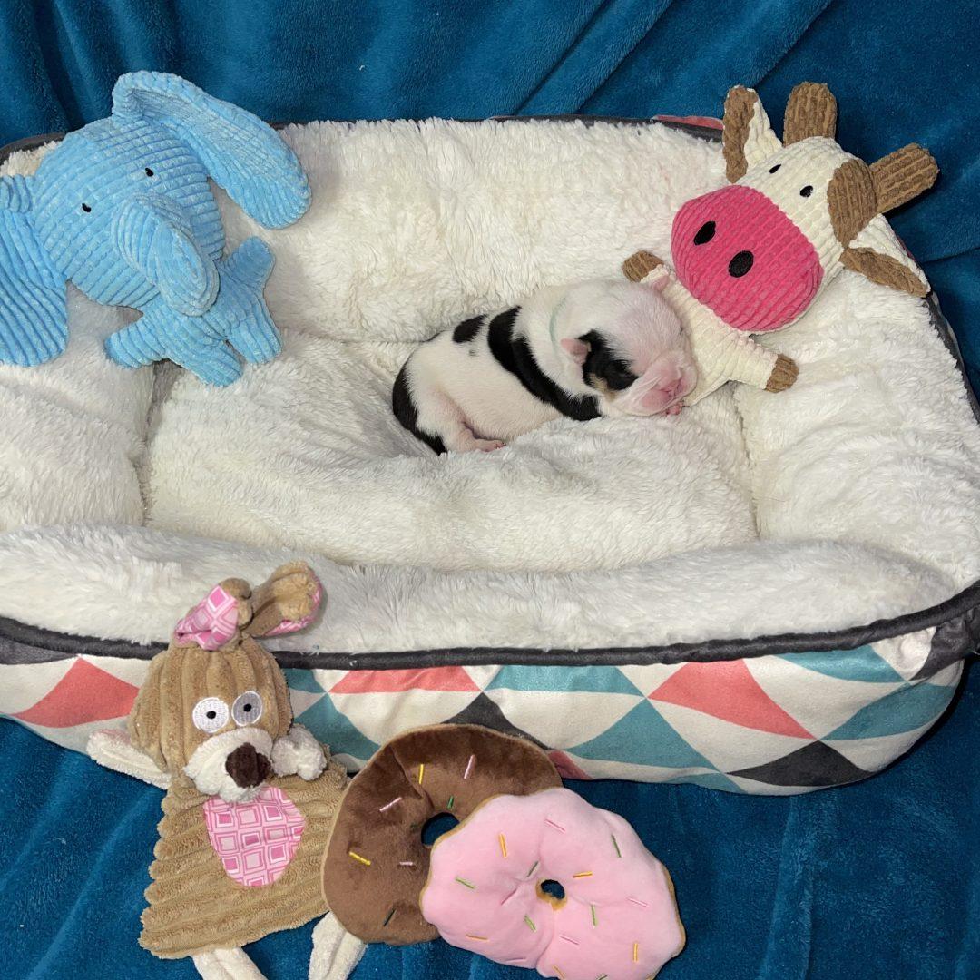 Tux - male AKC English Bulldog Puppy for sale in Elkin, North Carolina