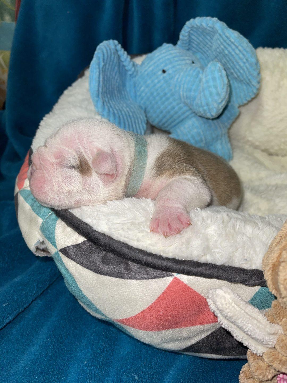Tan - male AKC English Bulldog Puppy for sale in Elkin, North Carolina
