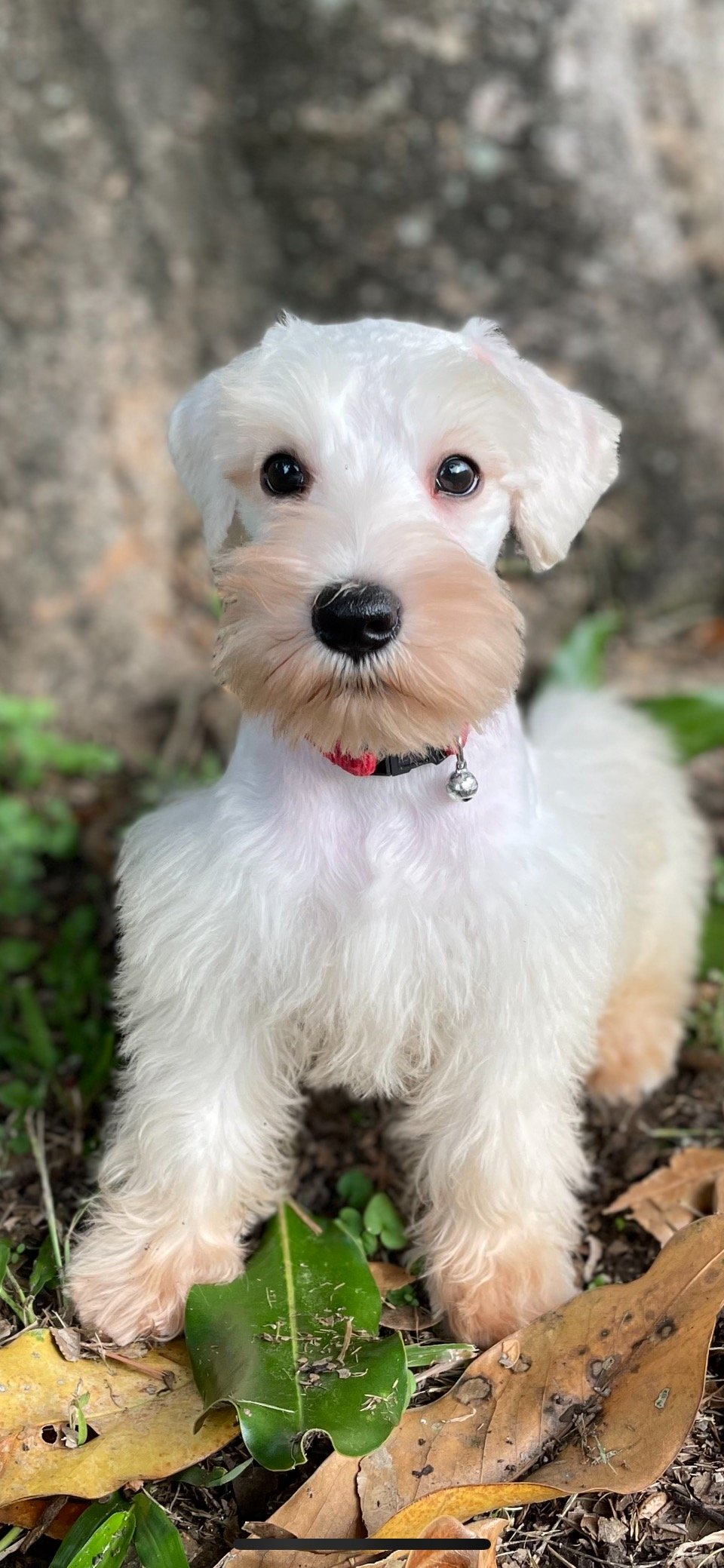 Fred- flawless all white mini schnauzer with a BIG HEART