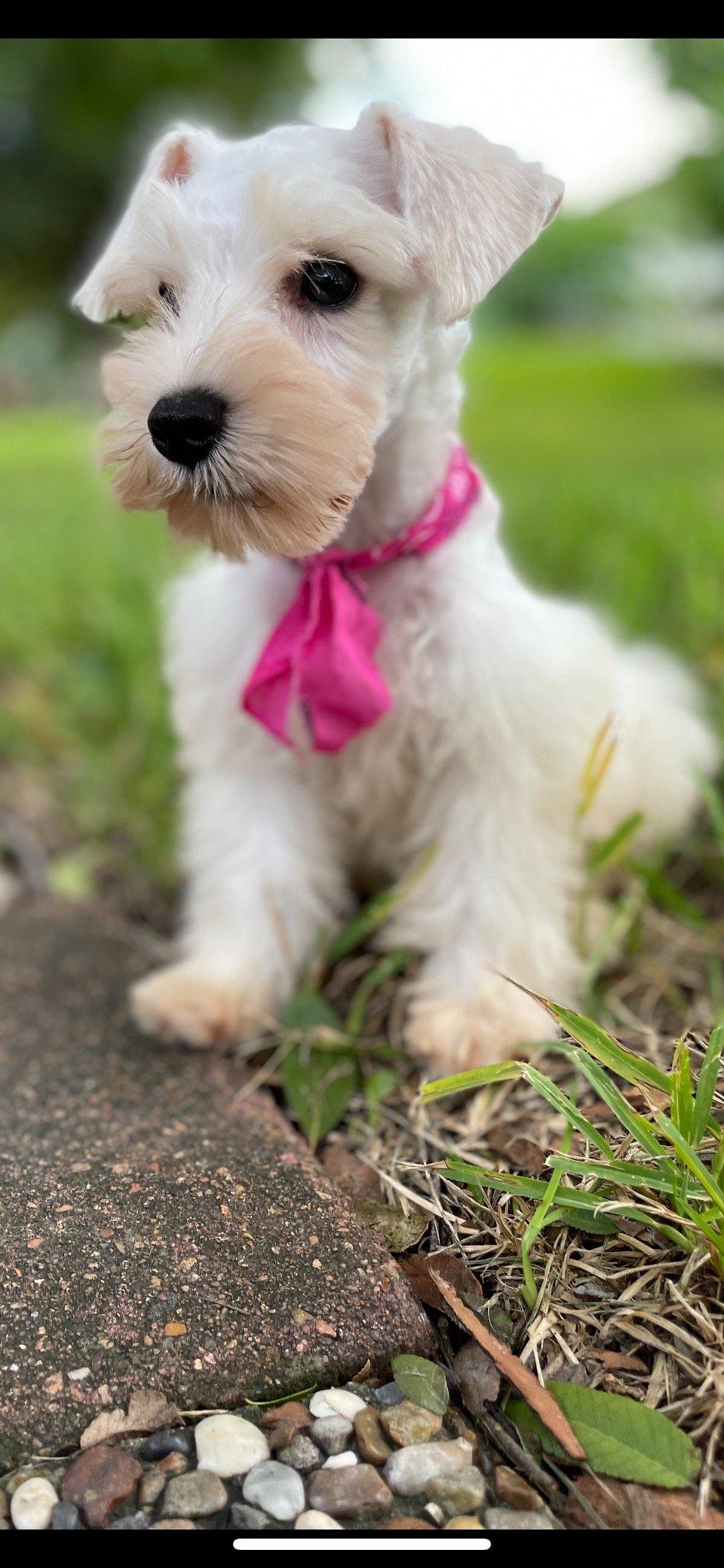 Freida - AKC Miniature Schnauzer pup for sale at Houston, Texas
