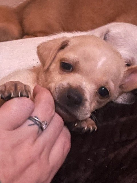 Clark - Chihuahua male pupper for sale at New River, Arizona