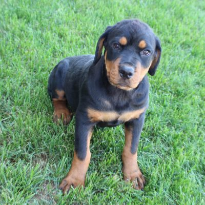 Gabby - AKC Rottweiler female puppie for sale at Shipshewana, Indiana