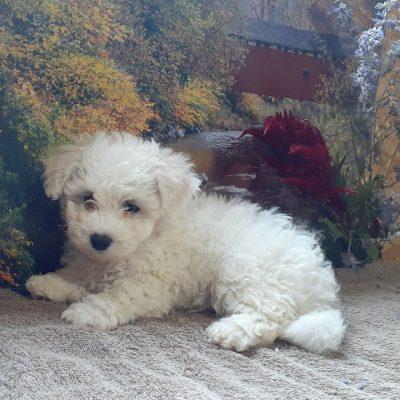 Coco - AKC Bichon Frise male puppie for sale in Grabill, Indiana