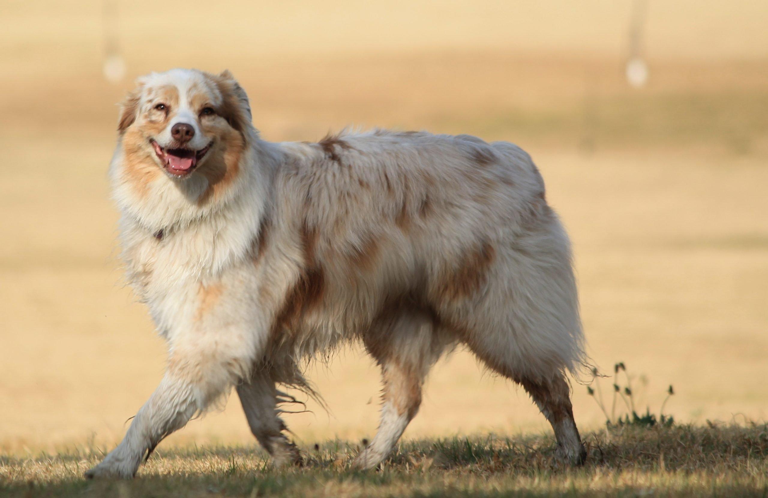 Smiling dog on a walk