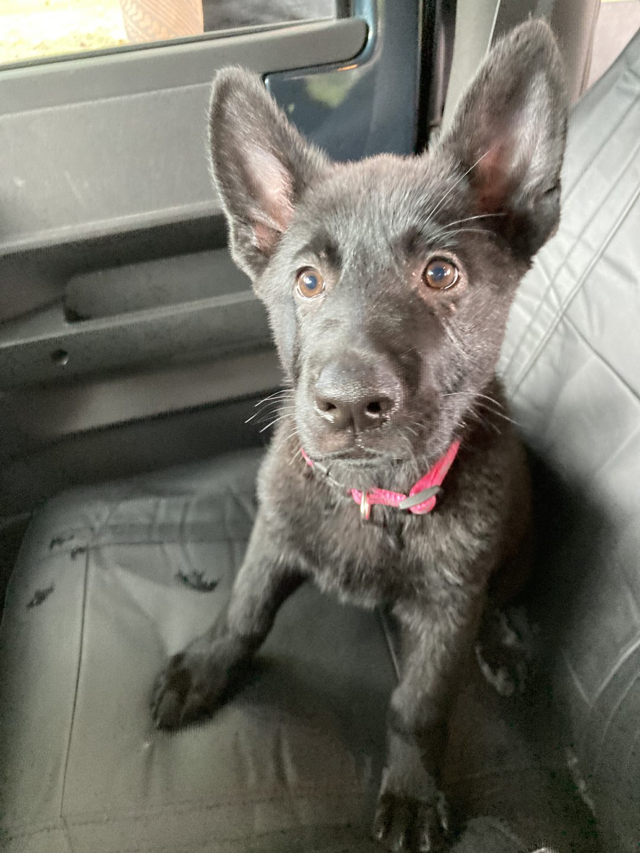 Annika - AKC German Shepherd female pup for sale at Crystal River, Florida