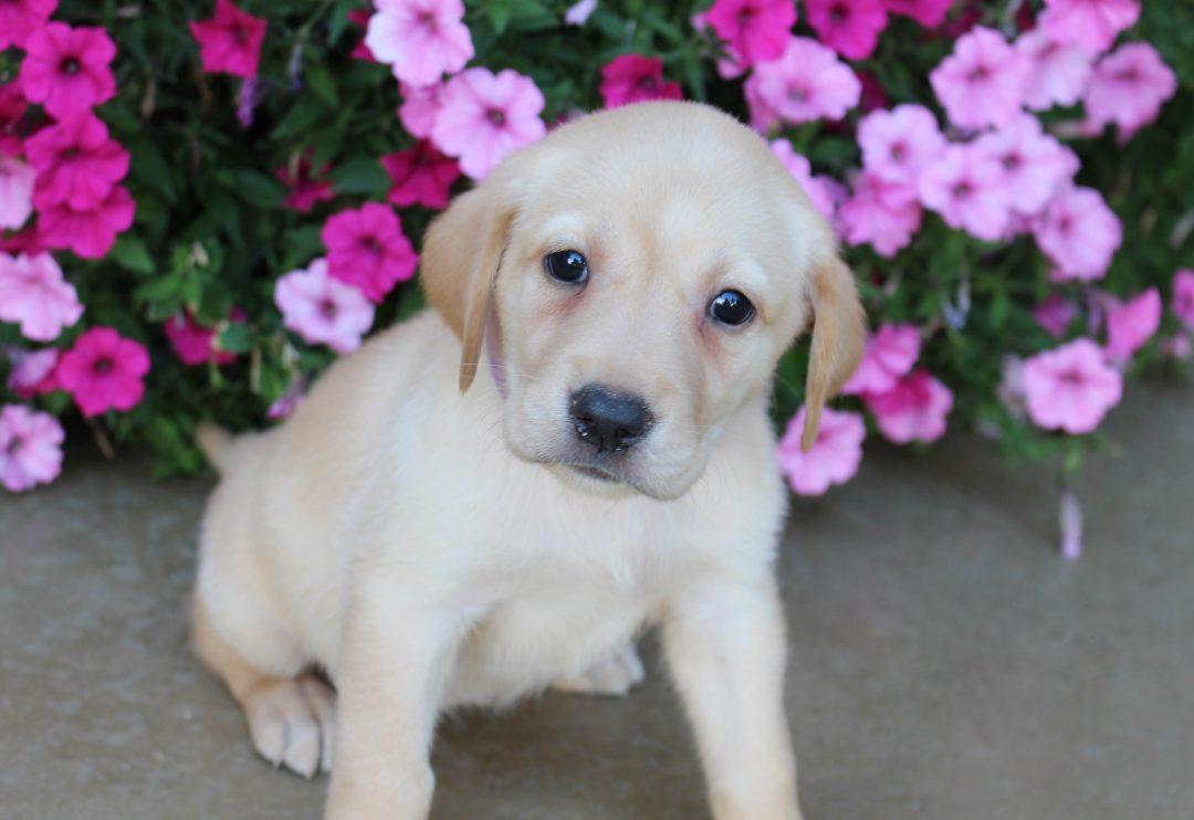 Chloe - AKC Labrador Retriever female pupper for sale at Grabill, Indiana