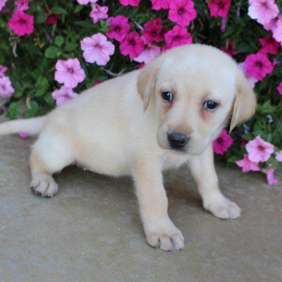 Abby - AKC Labrador Retriever female puppie for sale near Grabill, Indiana