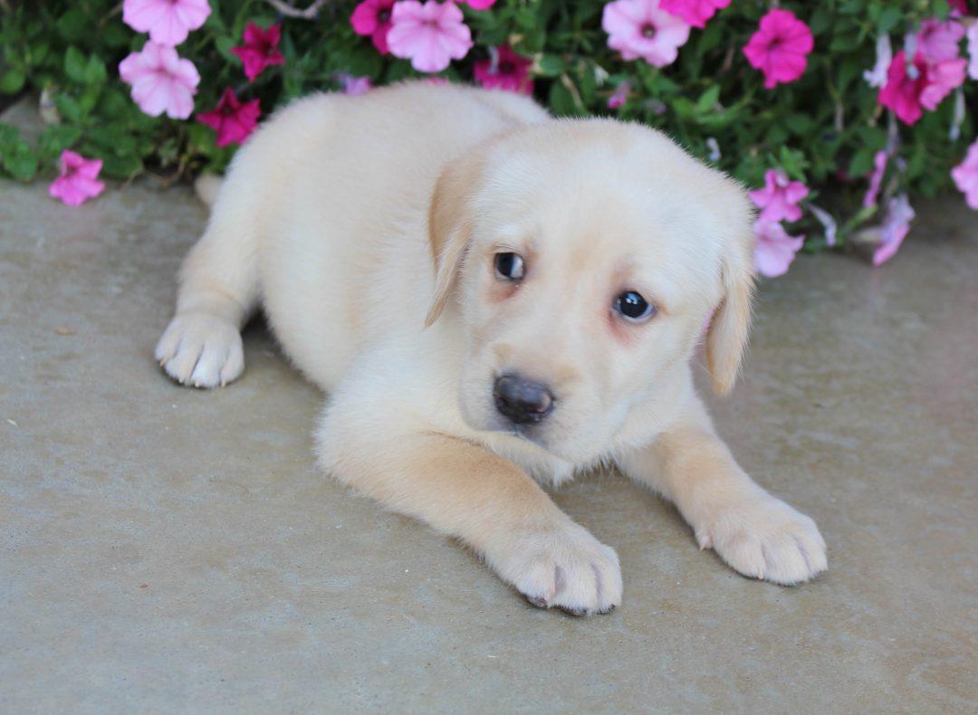 Bella - female AKC Labrador Retriever doggie for sale in Grabill, Indiana