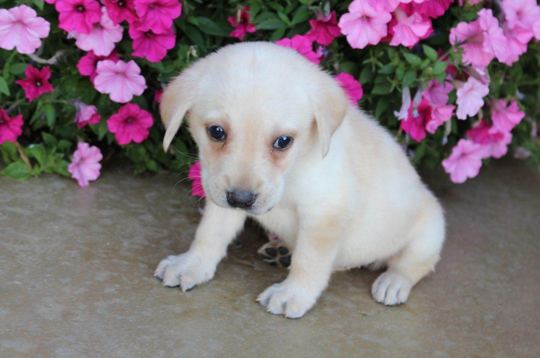 Stella - AKC Labrador Retriever female puppy for sale at Grabill, Indiana