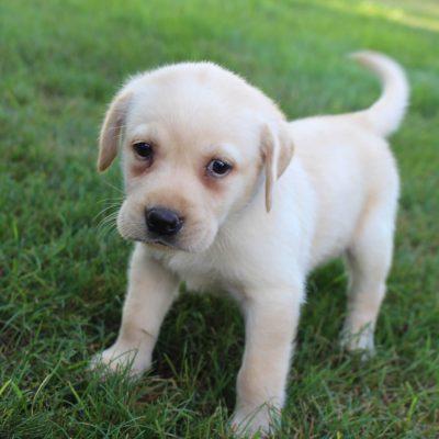 Hunter - AKC Labrador Retriever male pupper for sale in Grabill, Indiana