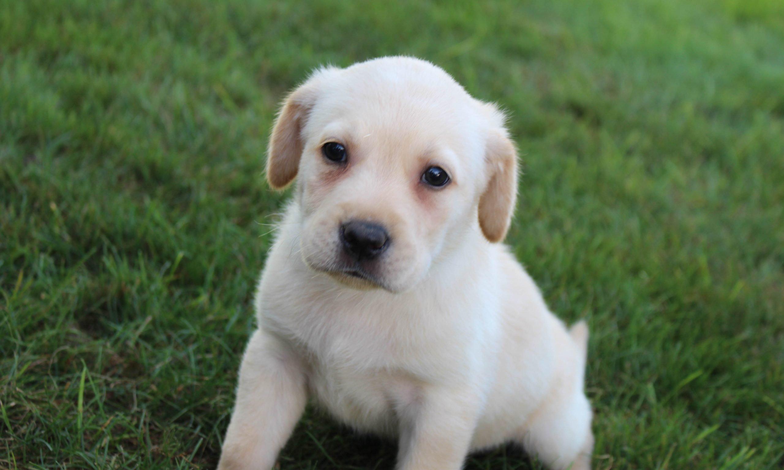 Gunnar - AKC Labrador Retriever male puppie for sale at Grabill, Indiana