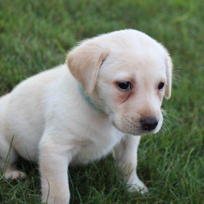 Max - AKC Labrador Retriever male doggie for sale near Grabill, Indiana