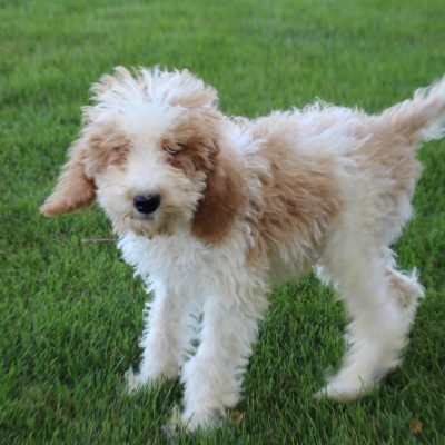 Bentley - Poodle male puppie for sale